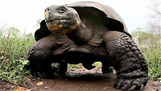Giant Galapagos Tortoise runs over camera left on the trail