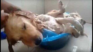 Ce chien fait la sieste pendant son bain