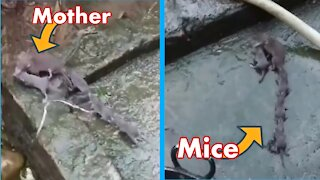 Mouse mother mouse baby mouse after each other funny