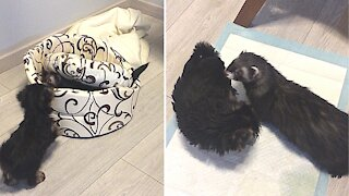 Ferret introduced to new Yorkie puppy addition