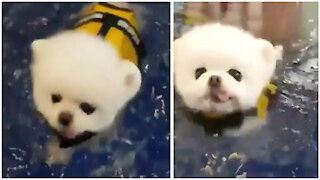 Adorable puppy has his first swimming lesson