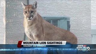 Mountain lion sighting caught on camera