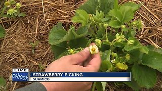 strawberry picking in Suamico