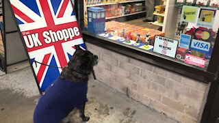Bulldog is fascinated by bobbleheads in store window