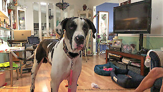 Great Danes Have Fun Visiting Dog and Parrot Friends
