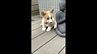 Playful Corgi Puppy Tries To Shake Off New Collar