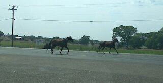 A herd of horses running loose on the highway.