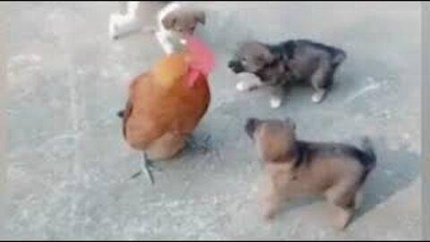 Chicken VS Dog Fight - Funny Dog Fight Amazing