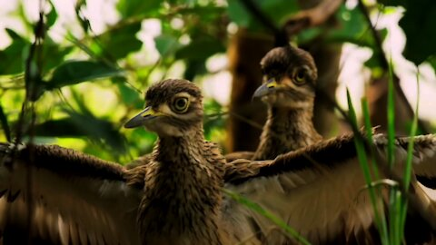 Daring birds shield their home from reptile