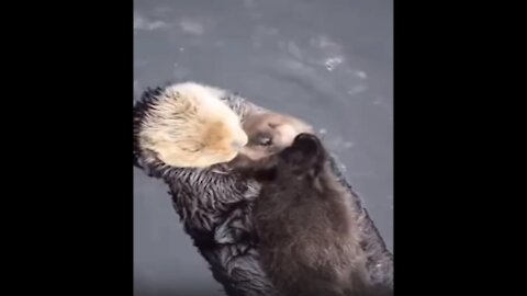 otter swims with its cub