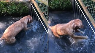 Golden Retriever tries to get through fence on his favorite creek