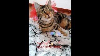 a Christmas Kitten