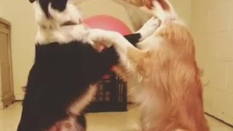 Border collies share loving moment