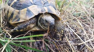 Turtle at Pelister Mountain