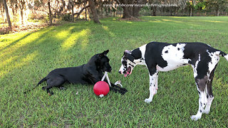 Great Dane and Puppy Love Playing With Jolly Ball on a Rope