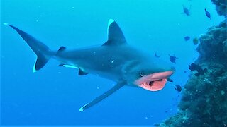 Scuba divers join hungry sharks in a close up feeding frenzy