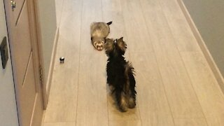 Ferret and Yorkie play an adorable game of tag