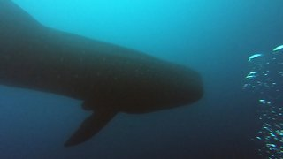 Enormous whale shark descends through divers from above