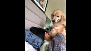 Hyperactive Golden Retriever Hilariously Wakes Up Owner