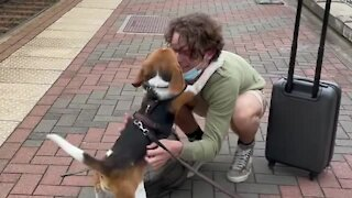 Sweet beagle welcomes home owner in heartwarming reunion