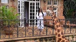 Woman feeds giraffe from her balcony from safari hotel