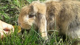Cute rabbit Stepa eating apricot and grass