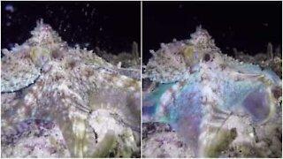 Denne kule blekkspruten er som en undervannsdisko