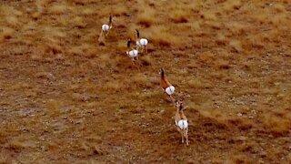 Fastest land animal in the Western Hemisphere captured by drone
