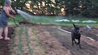 Great Dane puppy goes full zoomies through freshly planted vegetables