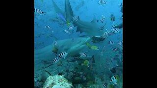 Scuba diver hand-feeds giant shark in Fiji