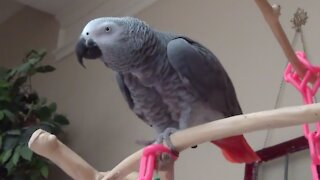 Einstein the parrot performs awesome gymnastic moves