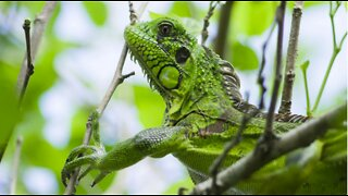 Ocean Ridge hires company to remove iguanas from town