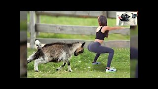Funny Sheep Attacking People Compilation 2021