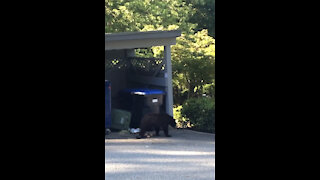 Hungry bear is going through the trash.