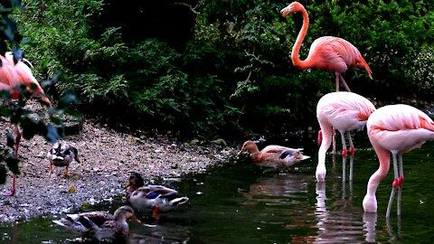 Flamingos are the most Gregarious Birds