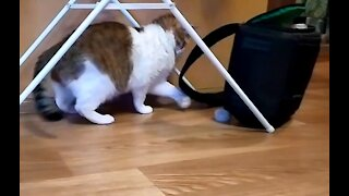 Cat playing with the mechanism of a talking toy