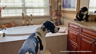 Gentle Great Dane And Cats Enjoy Cat Treats Together