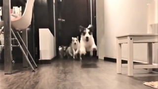 Jack Russell Terriers preciously run to greet owner