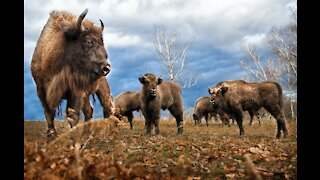 Bison -everything about American Bison -