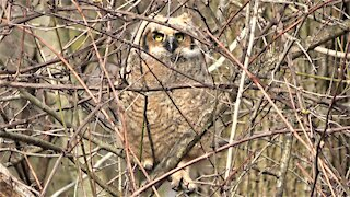 Great horned owl is adorably clumsy on first day out of the nest
