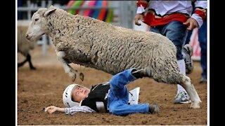 Sheep acting like an angry Bull