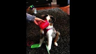 Super smart puppy performs complex dog trick
