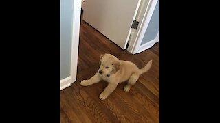 Golden Retriever Puppy Fights His Mirror Reflection