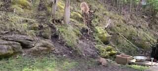 Deer totally puzzled by presence of bunny rabbit