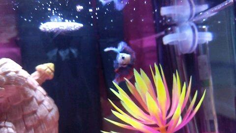 Bernice The Beta Fish