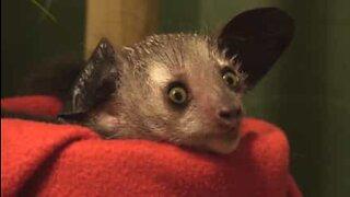 Utrotningshotad lemur föds och ger hopp för arten