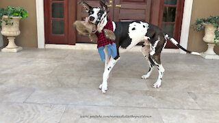 Great Dane Would Rather Play With Werewolf Wig Costume Than Wear It