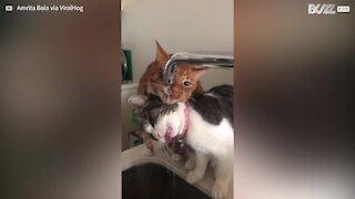 Ces chats assoiffés boivent au robinet