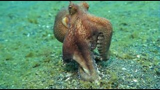 Octopus predatory moves on seabed