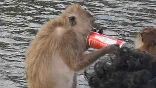 Macaco bebe coca-cola na Tailândia